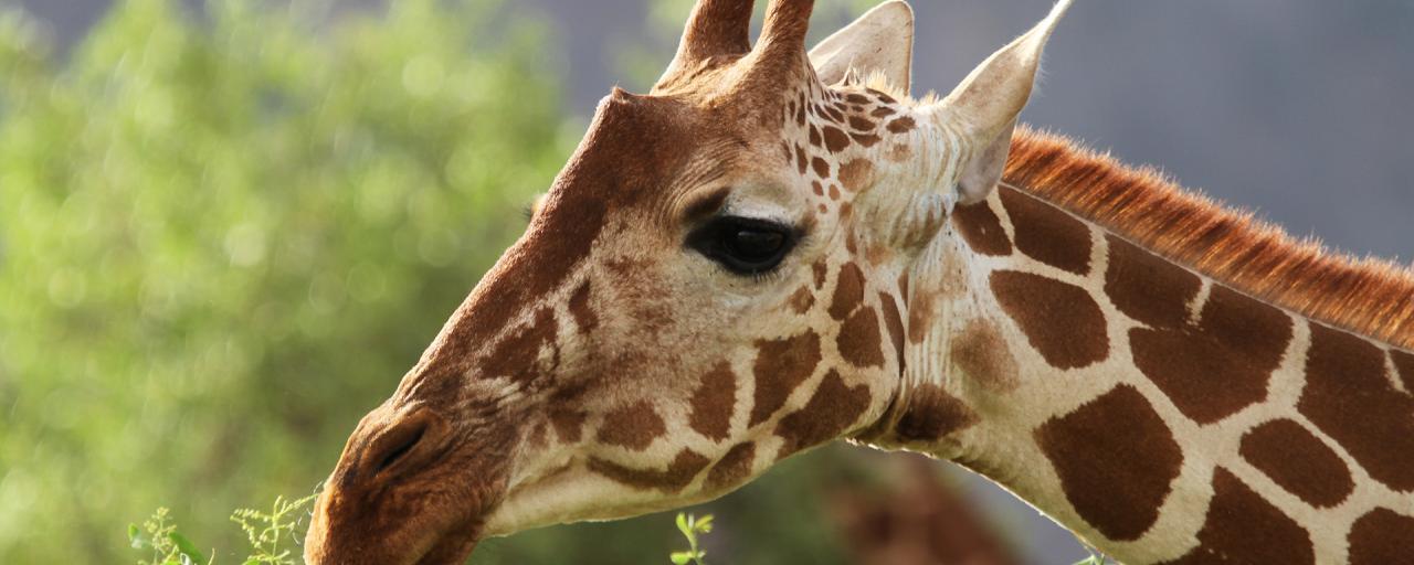 giraffe kenya rominafacchi exploringafrica safariadv