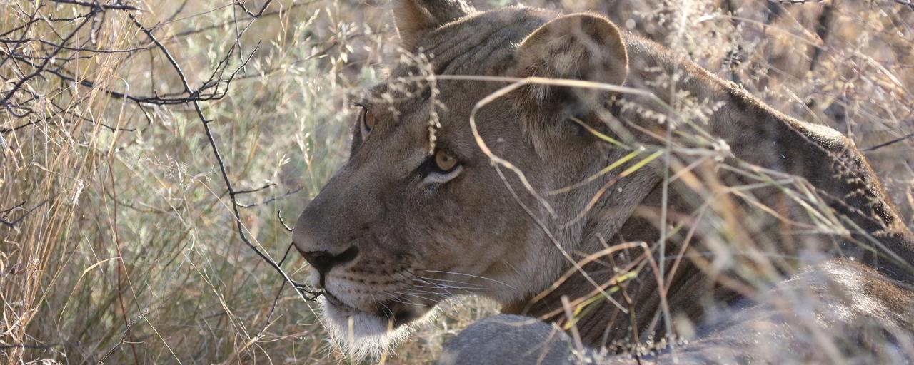 ckgr kalahari exploringafrica safariadv botswana romina facchi lion travel safari