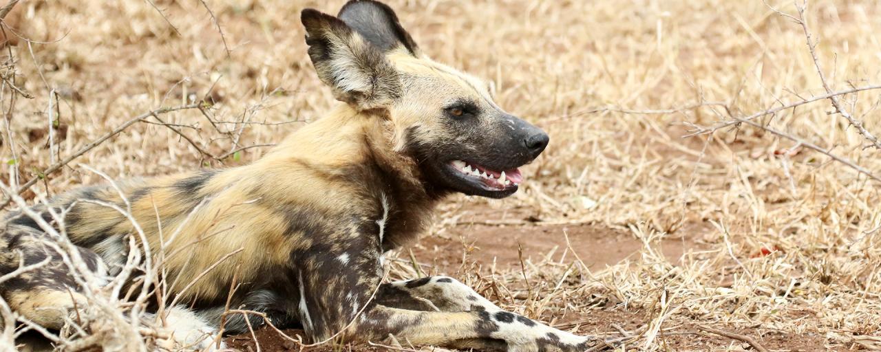 licaone south africa sudafrica exploringafrica safariadv kruger wilddog