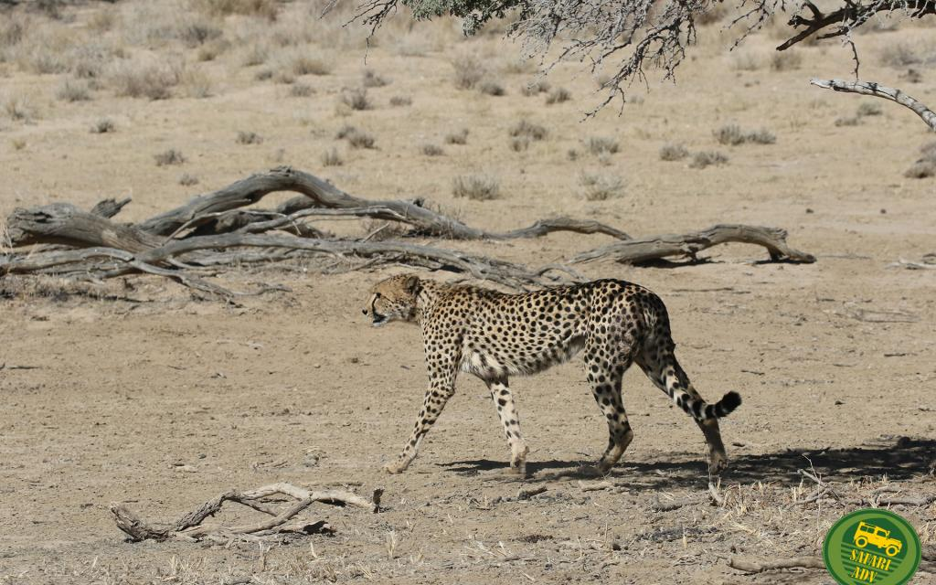 cheetah ghepardo kgalakgadi south africa namibia