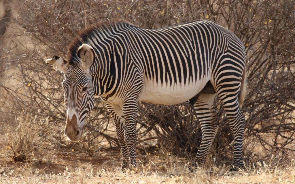 kenya zebra samburu grevy exploringafrica safariadv