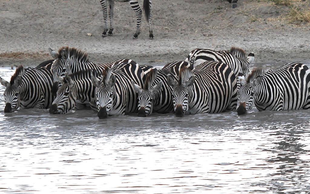 zebre tanzania tarangire africa zebra