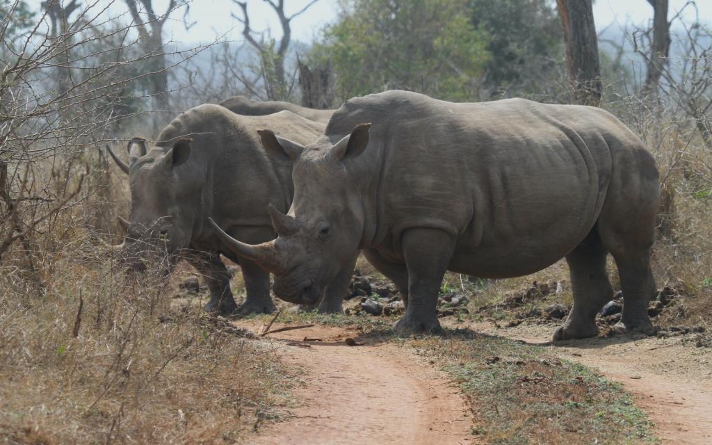 swaziland hlane rhino rinoceronte