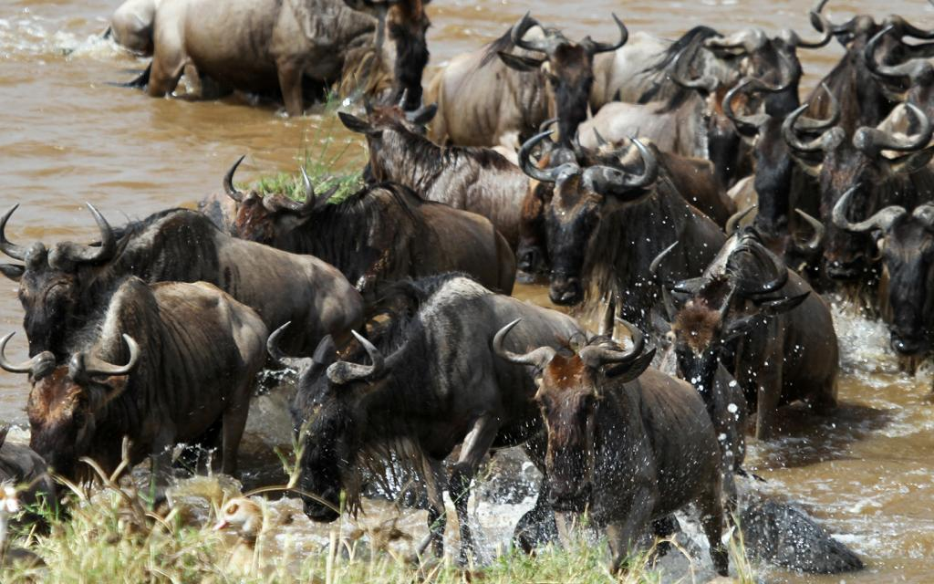Serengeti National Park: Great Migration crossing the Mara River
