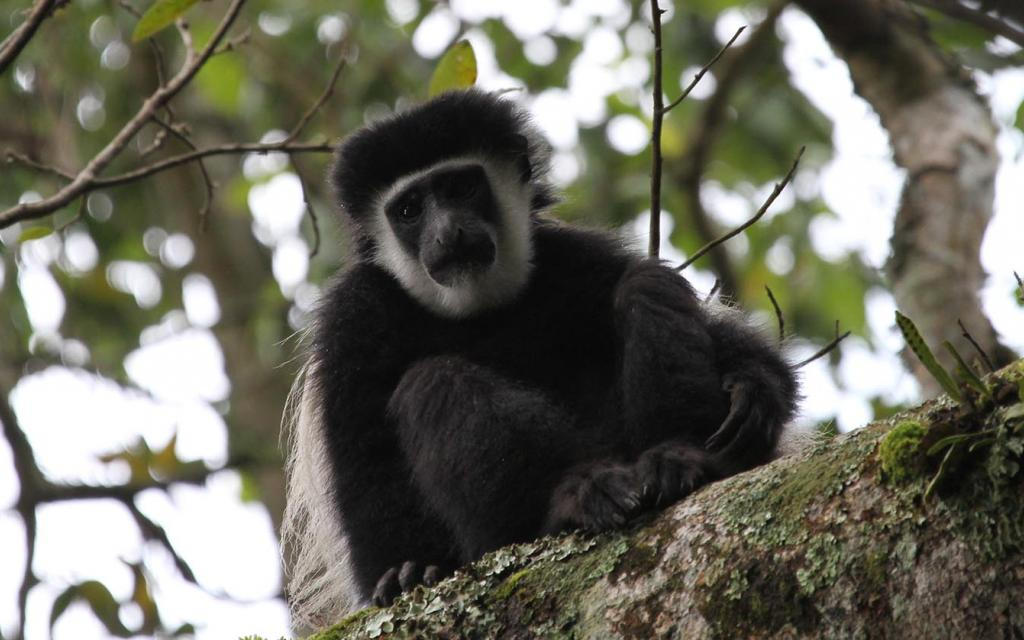 Arusha National Park: Angola White and Black Colobus, Colobus angolesis tanzania africa