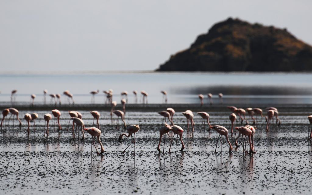 Lesser Flamingo lake Natron Tanzania Africa Great Rift Valley