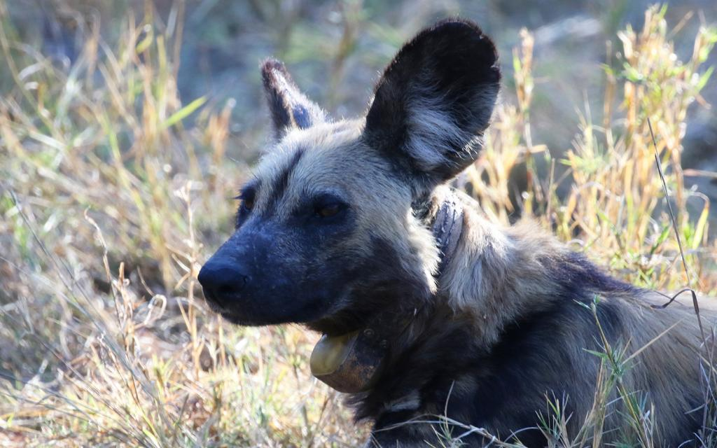 botswana safari wilddog licaone africa safariadv exploringafrica romina facchi