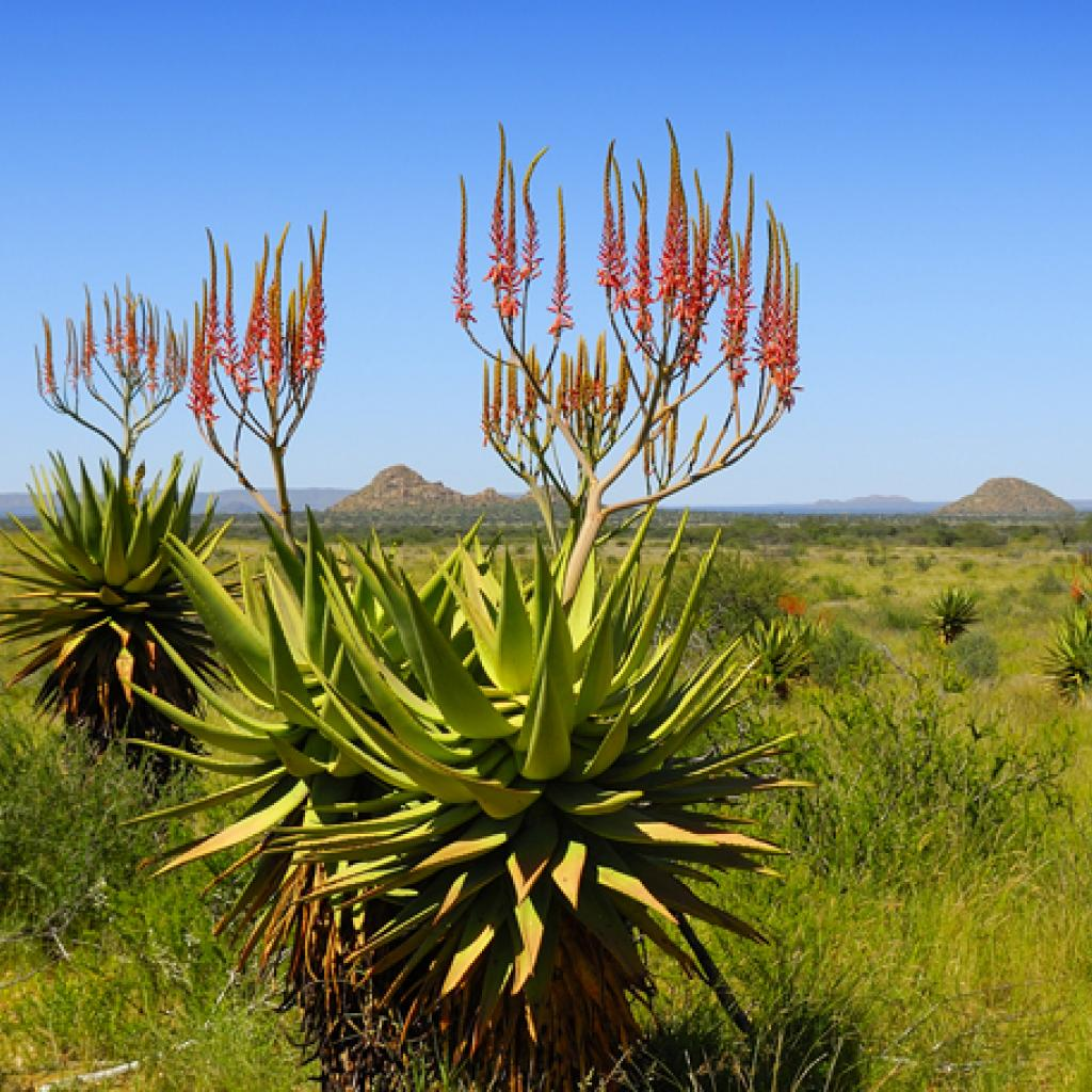 herero people namibia aloe littoralis