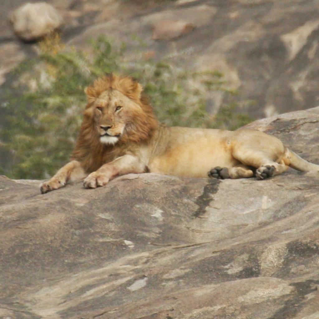 Serengeti National Park: male lion laying on a kopjes