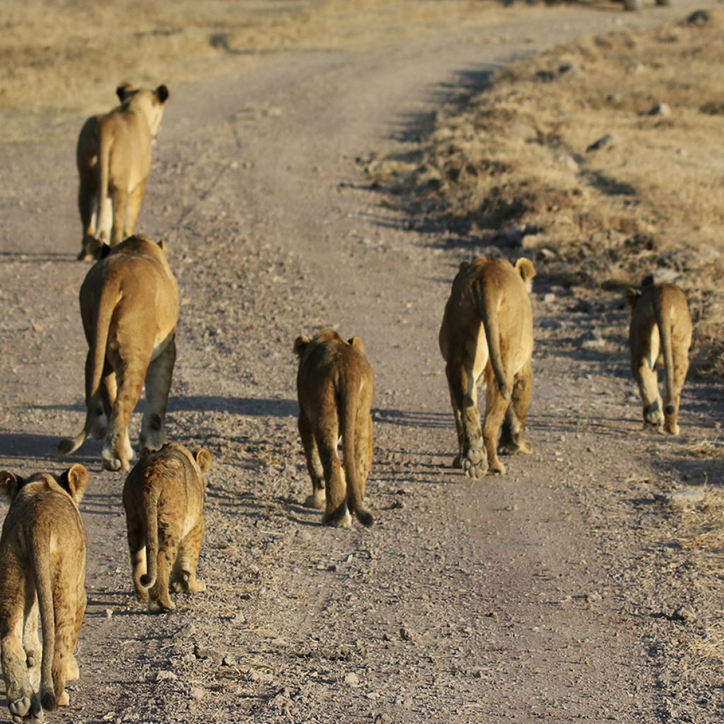 leoni ngorongoro tanzaia safari exploringafrica romina facchi lion