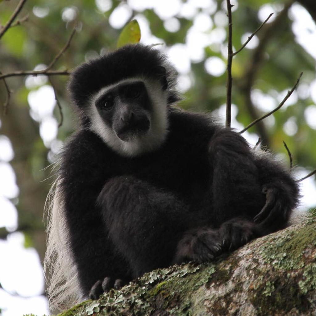 Arusha National Park: Angola White and Black Colobus, Colobus angolesis