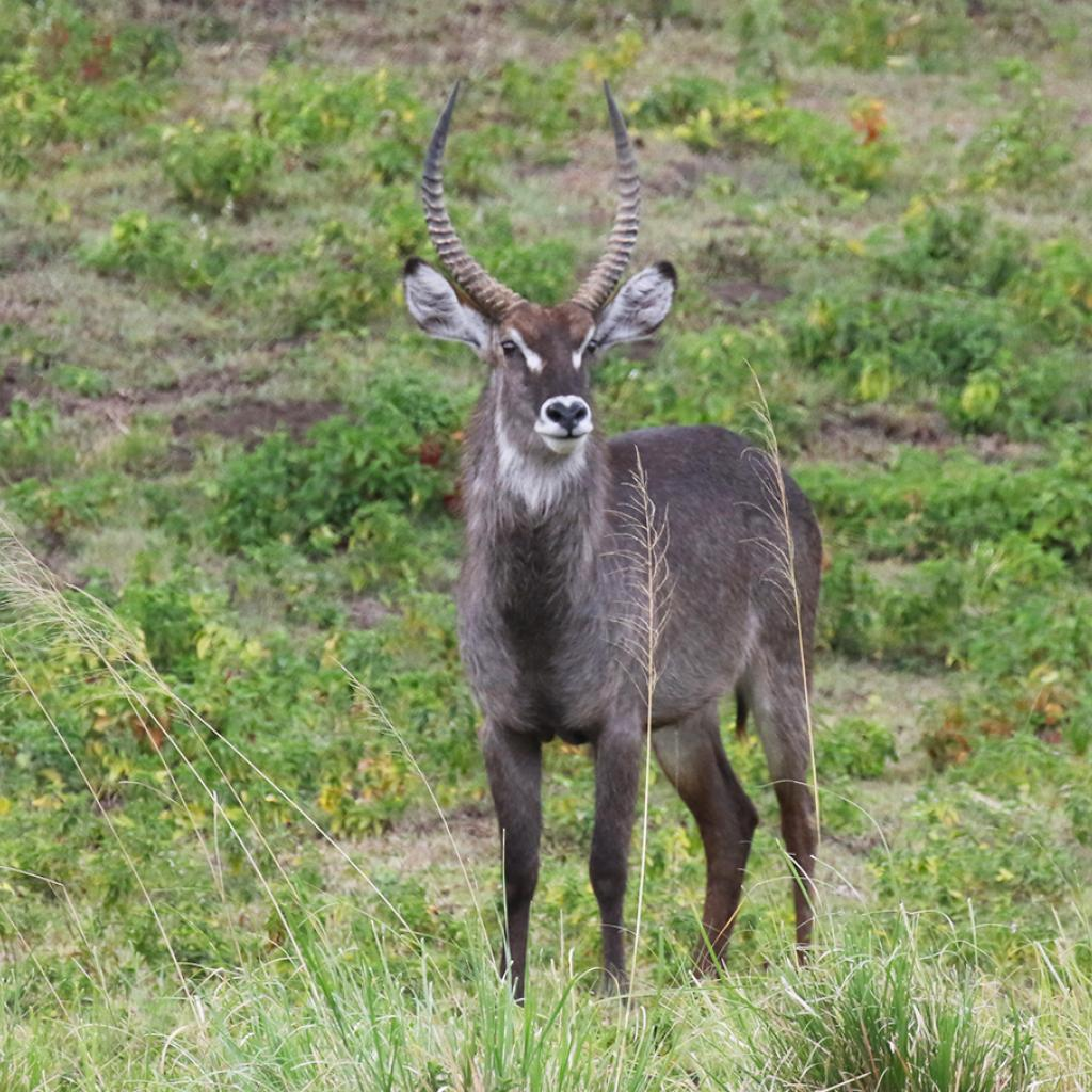 Waterbuck at Arusha National Park in Tanzania East Africa