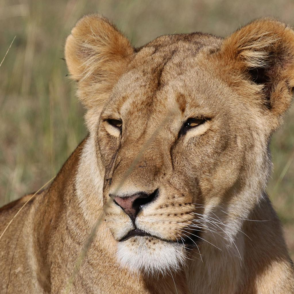 Masai Mara National Reserve: stunning female lion laying in the grass