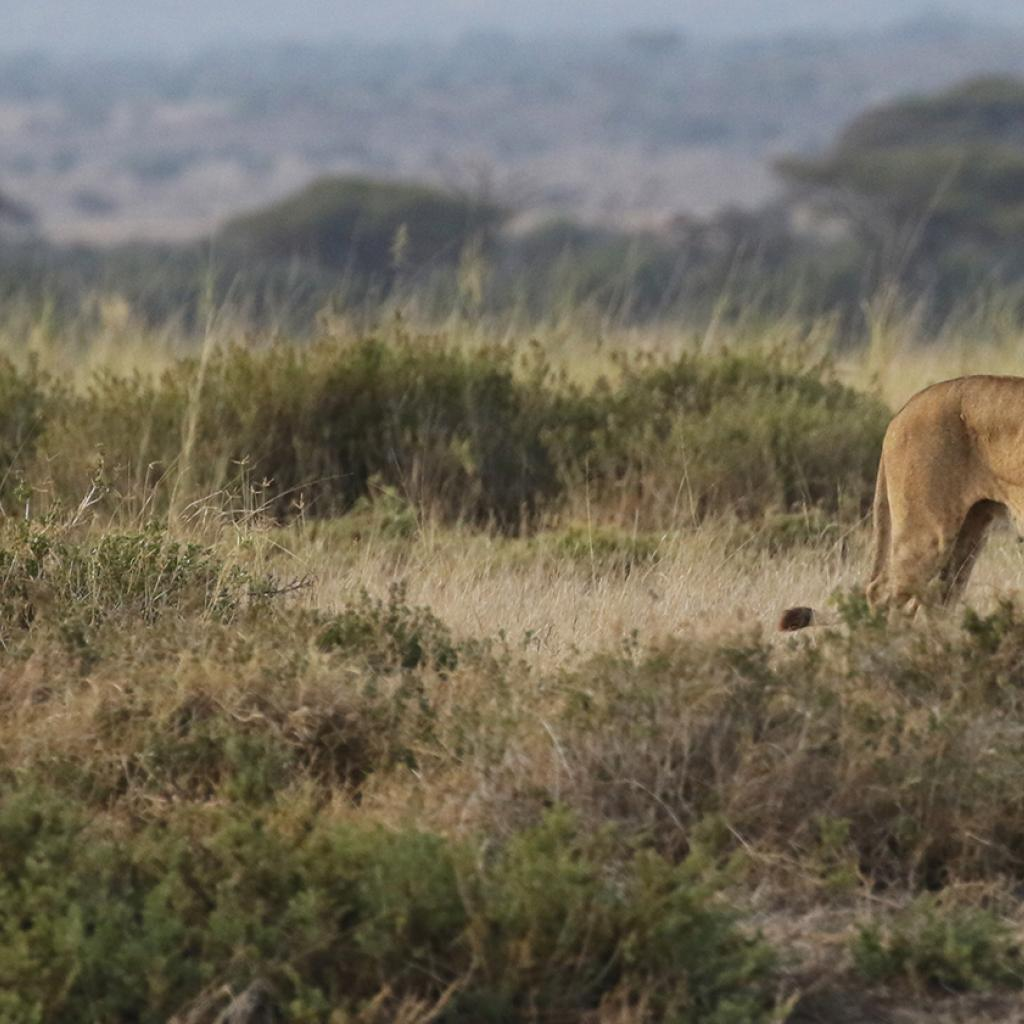 lion in Amboseli National Park