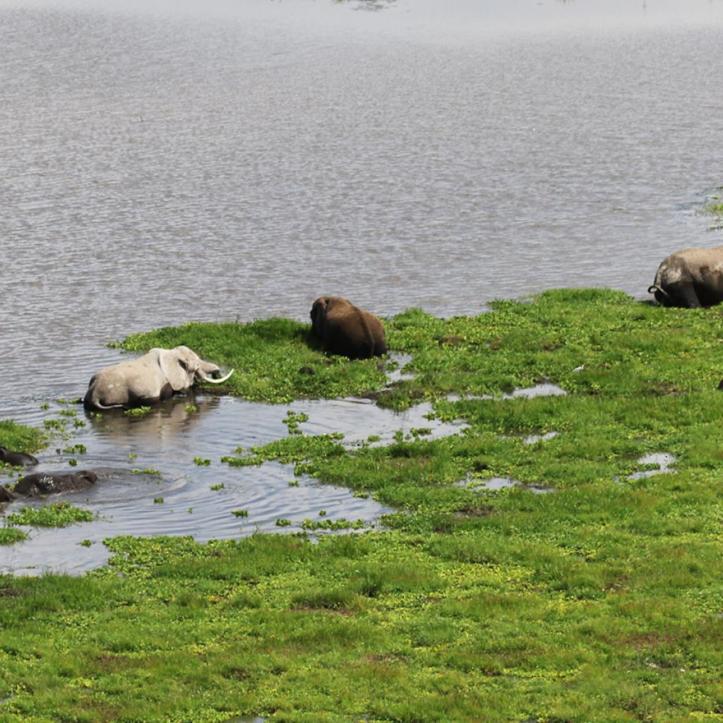elephants enjoing swamp in Amboseli National Park
