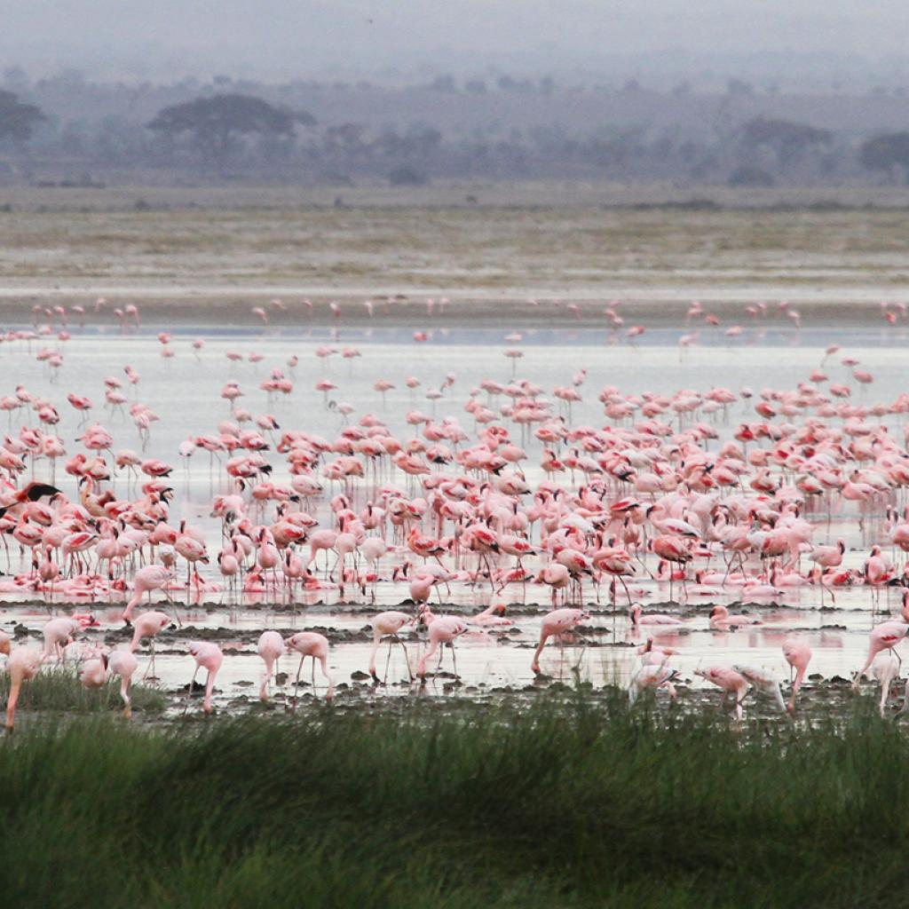 thousand of flamingos in the lake in Amboseli National Park