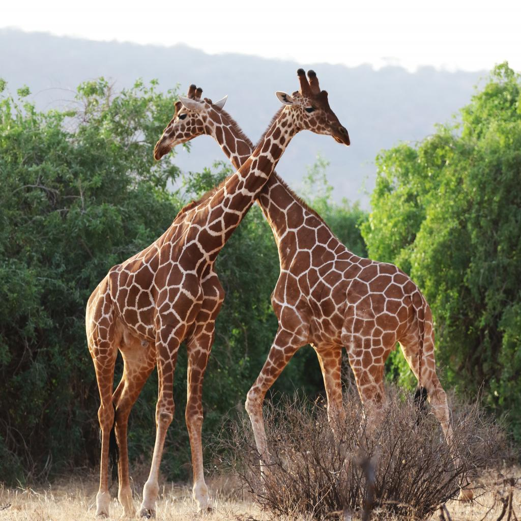 Samburu National Reserve: Reticulated Giraffe