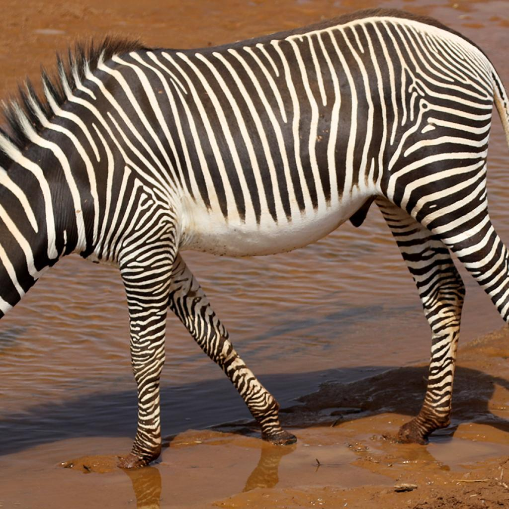 Samburu National Reserve where you can find the grevy zebra kenya romina facchi