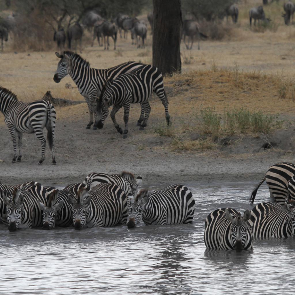 zebras enjoing a water hole in Tarangire National Park