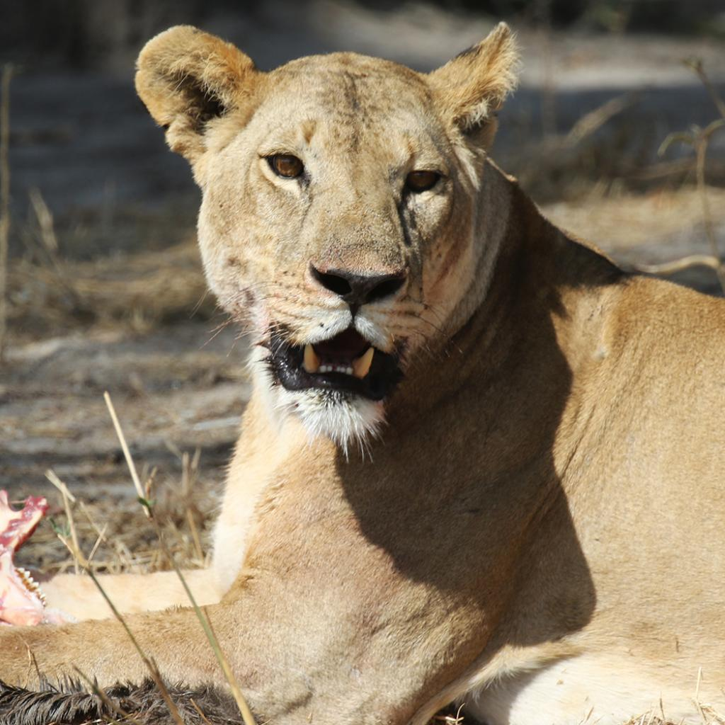 eating lion in Tarangire National Park