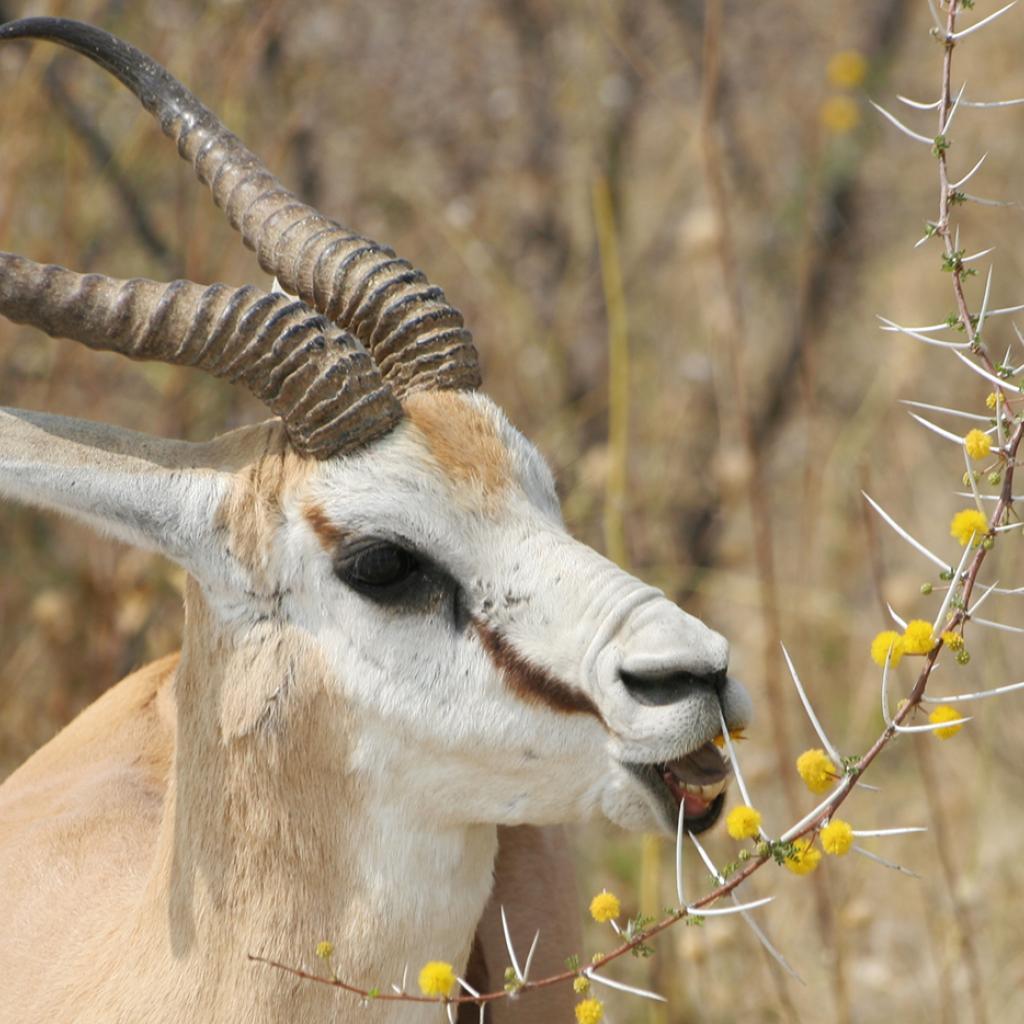 Etosha National Park springbok Namibia Romina Facchi Africa
