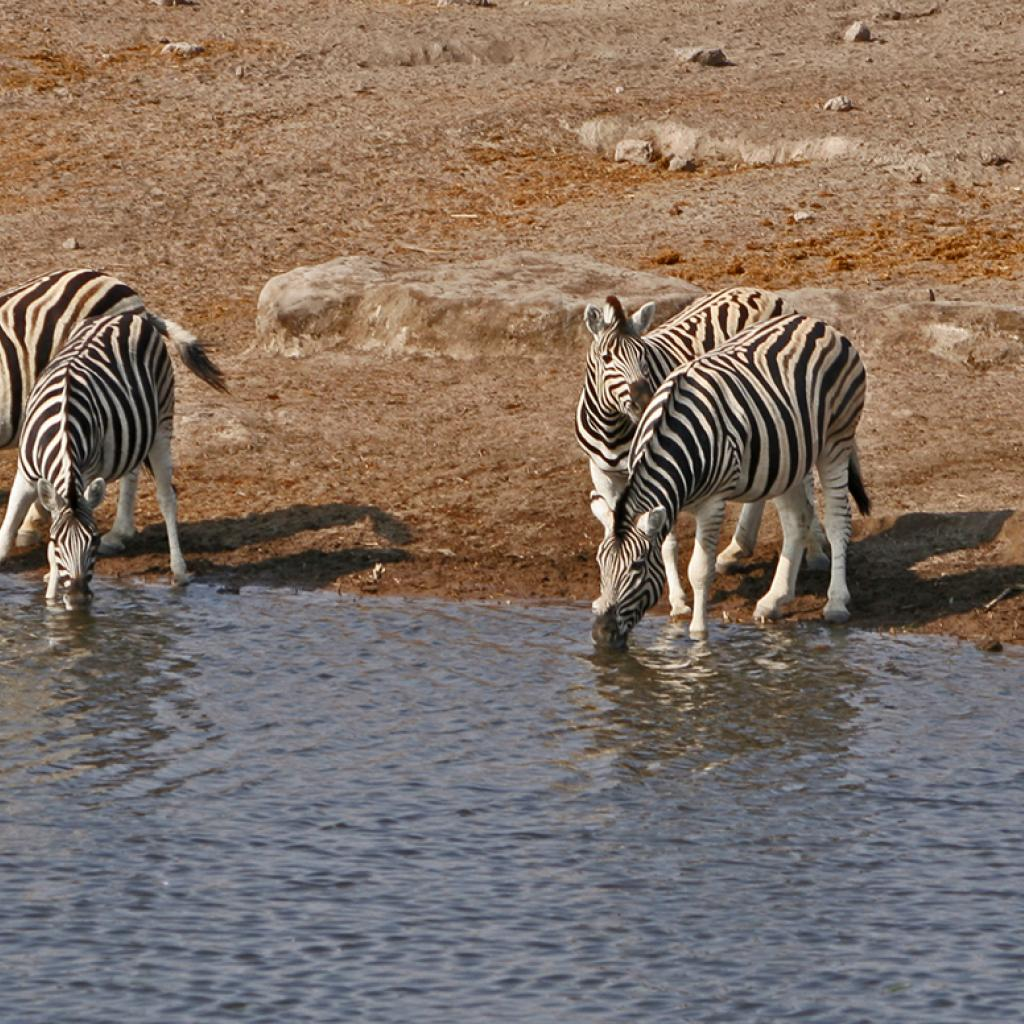 zebras drinking at the water hole in Etosha National Park