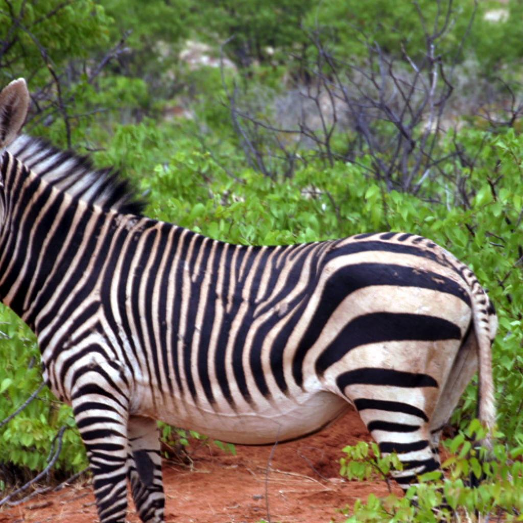 the Etosha National Park is the home of mountain zebra