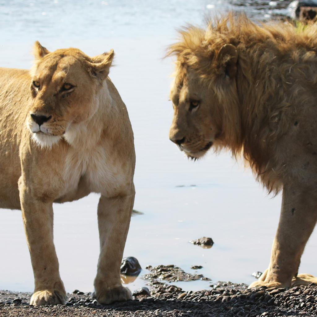 Ngorongoro Conservation Area: male and female lions walking around into savannah