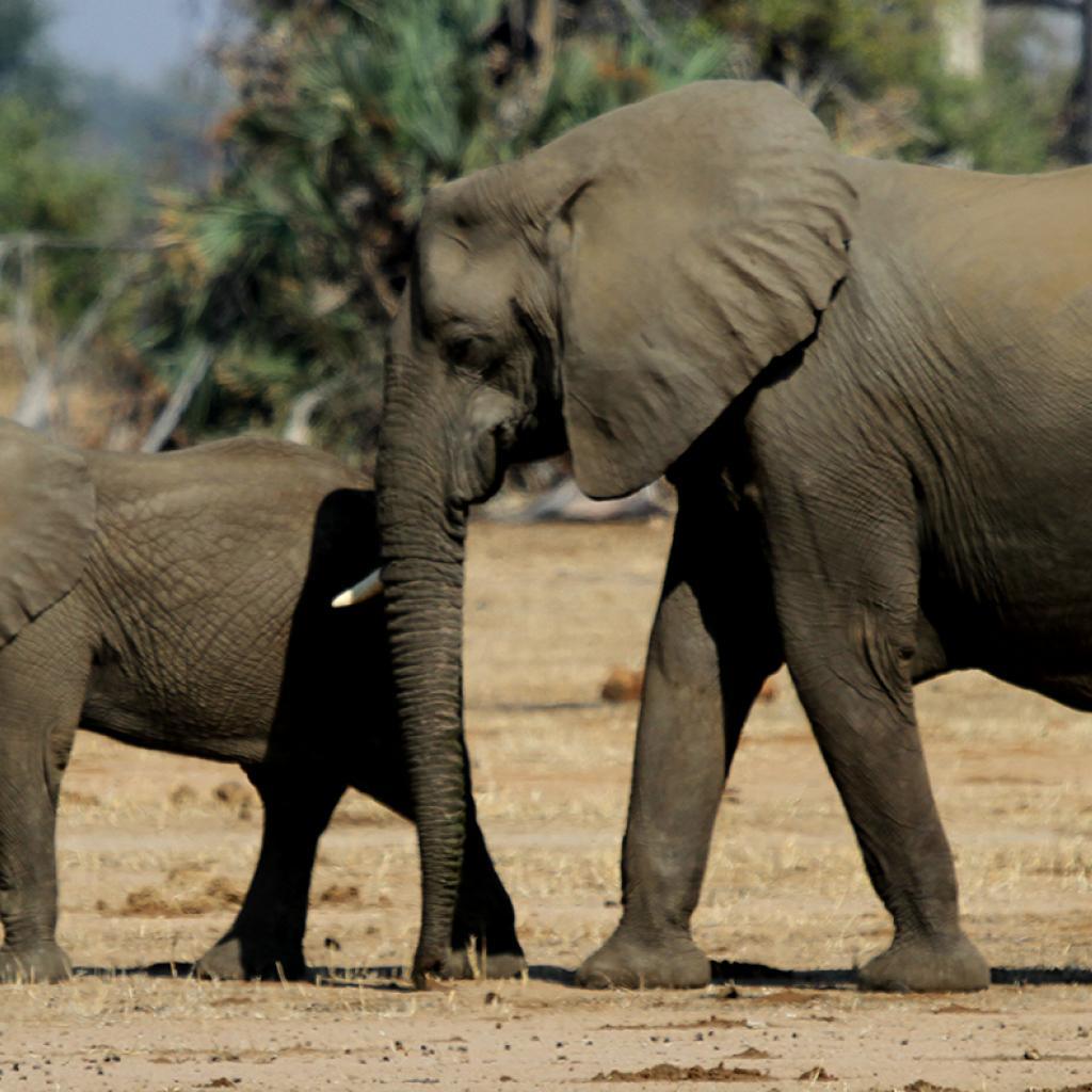 zimbabwe elephant safariadv exploringafrica romina facchi travel viaggi africa safari