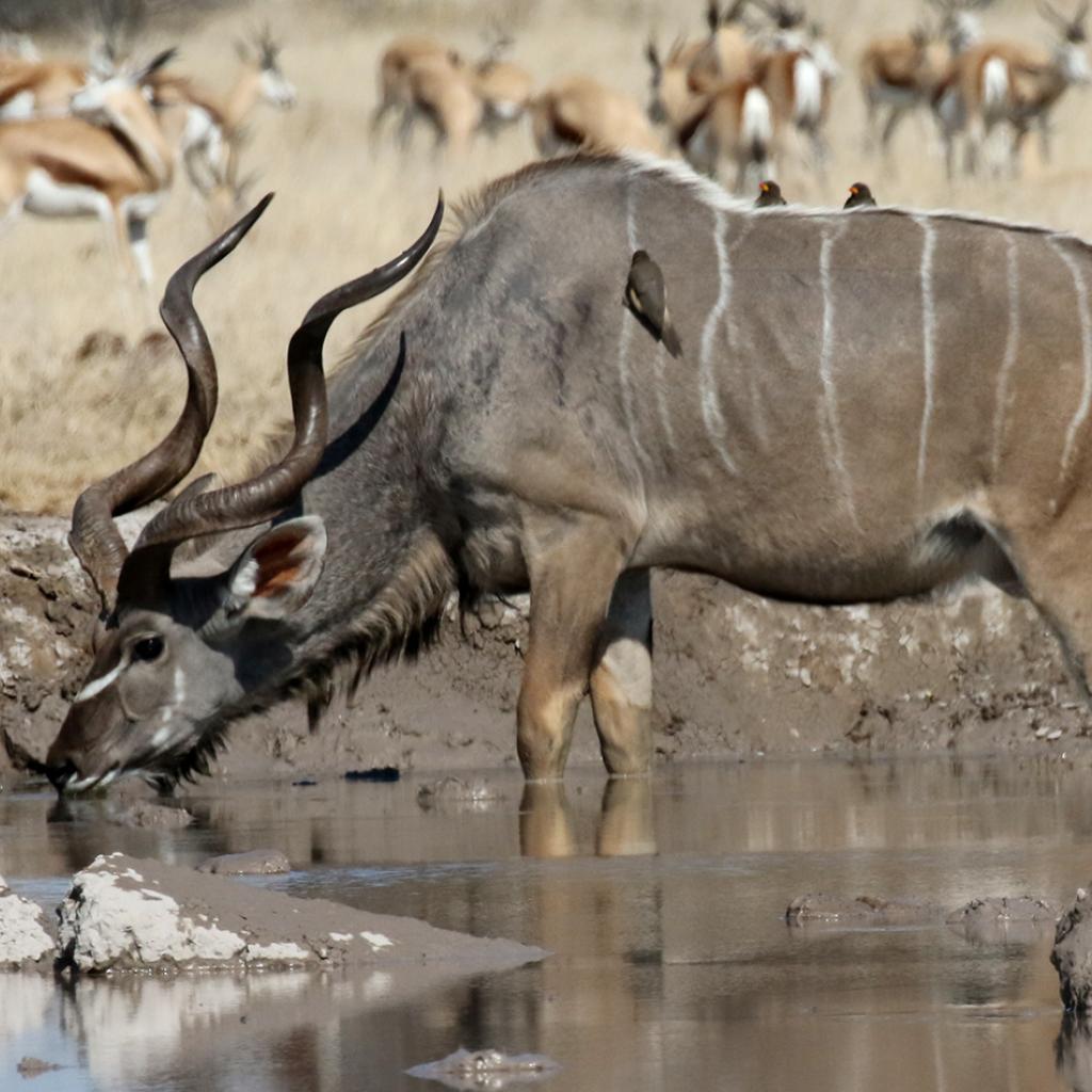 botswana safari nxai pan kudu africa safariadv exploringafrica romina facchi