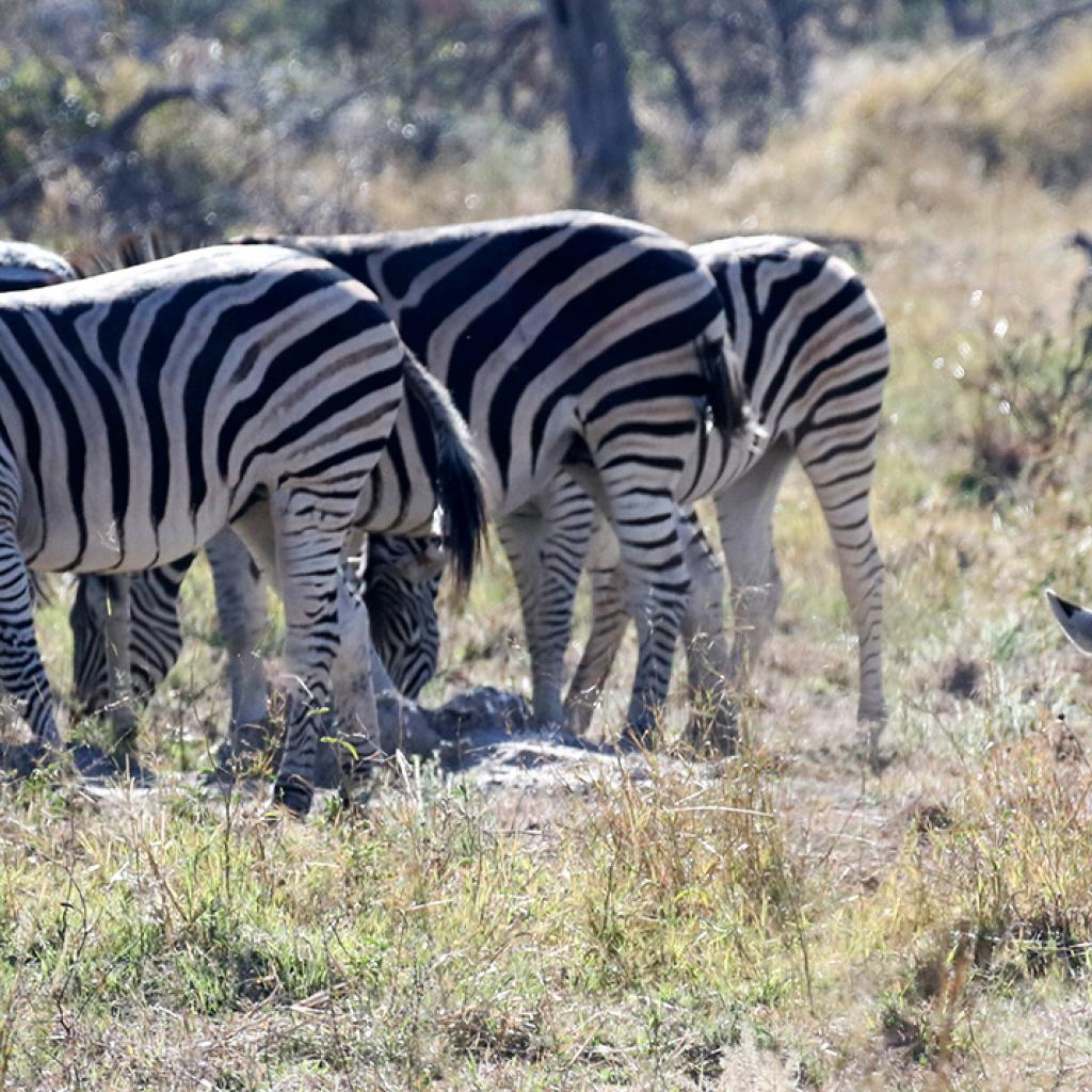 botswana safari zebra moremi africa africa safariadv exploringafrica romina facchi travel viaggiafrica romina facchi travel viaggi