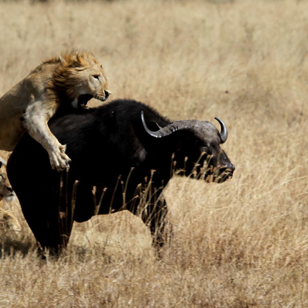 tanzania ngorongoro lion exploringafrica safariadv romina facchi