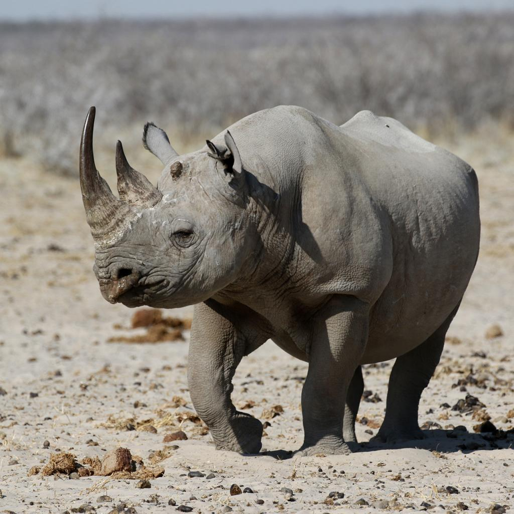namibia rhino etosha exploring africa safariadv romina facci