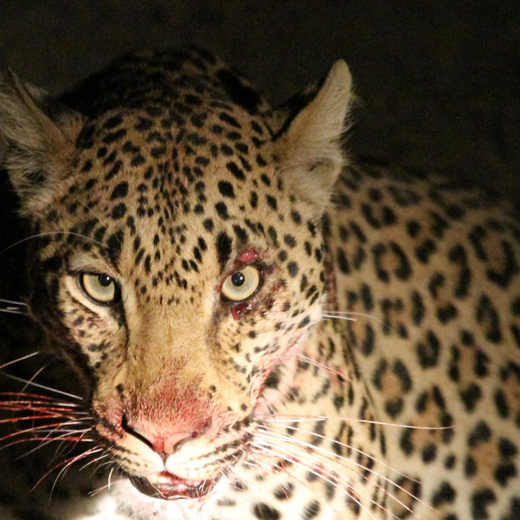 zambia luangwa leopard romina facchi exploringafrica safariadv