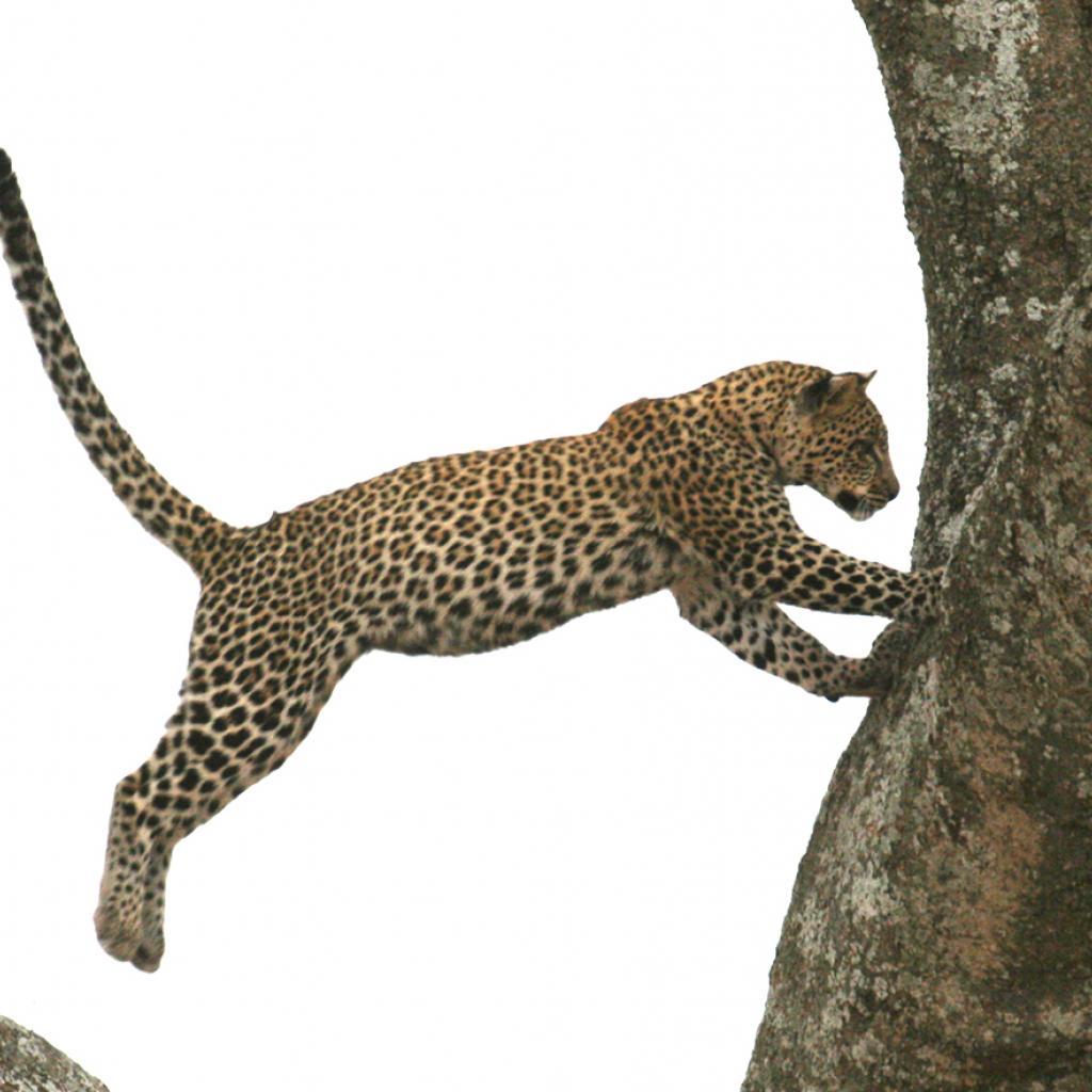 tanzania serengeti leopard exploringafrica safariadv romina facchi