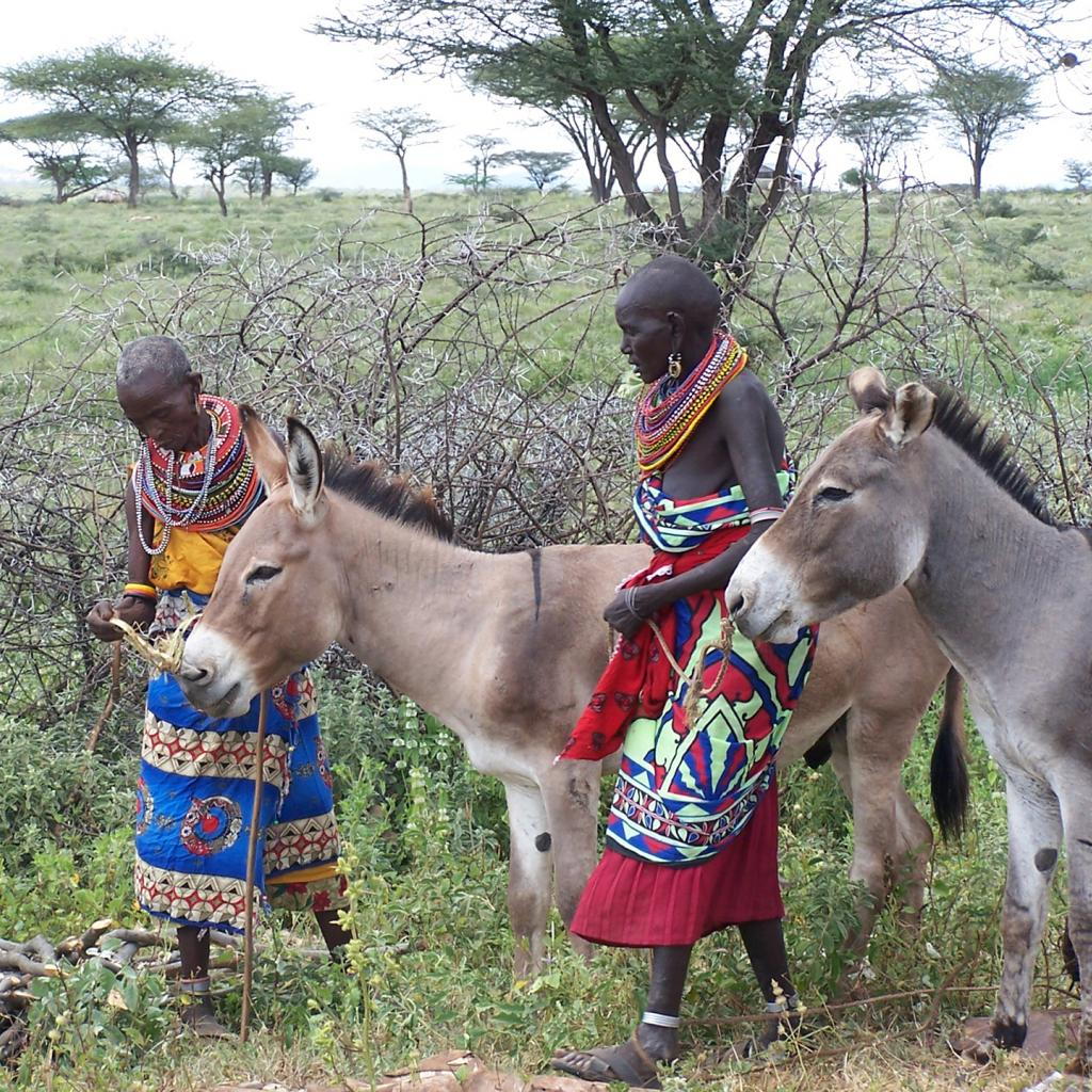 samburu people in kenya with donkey
