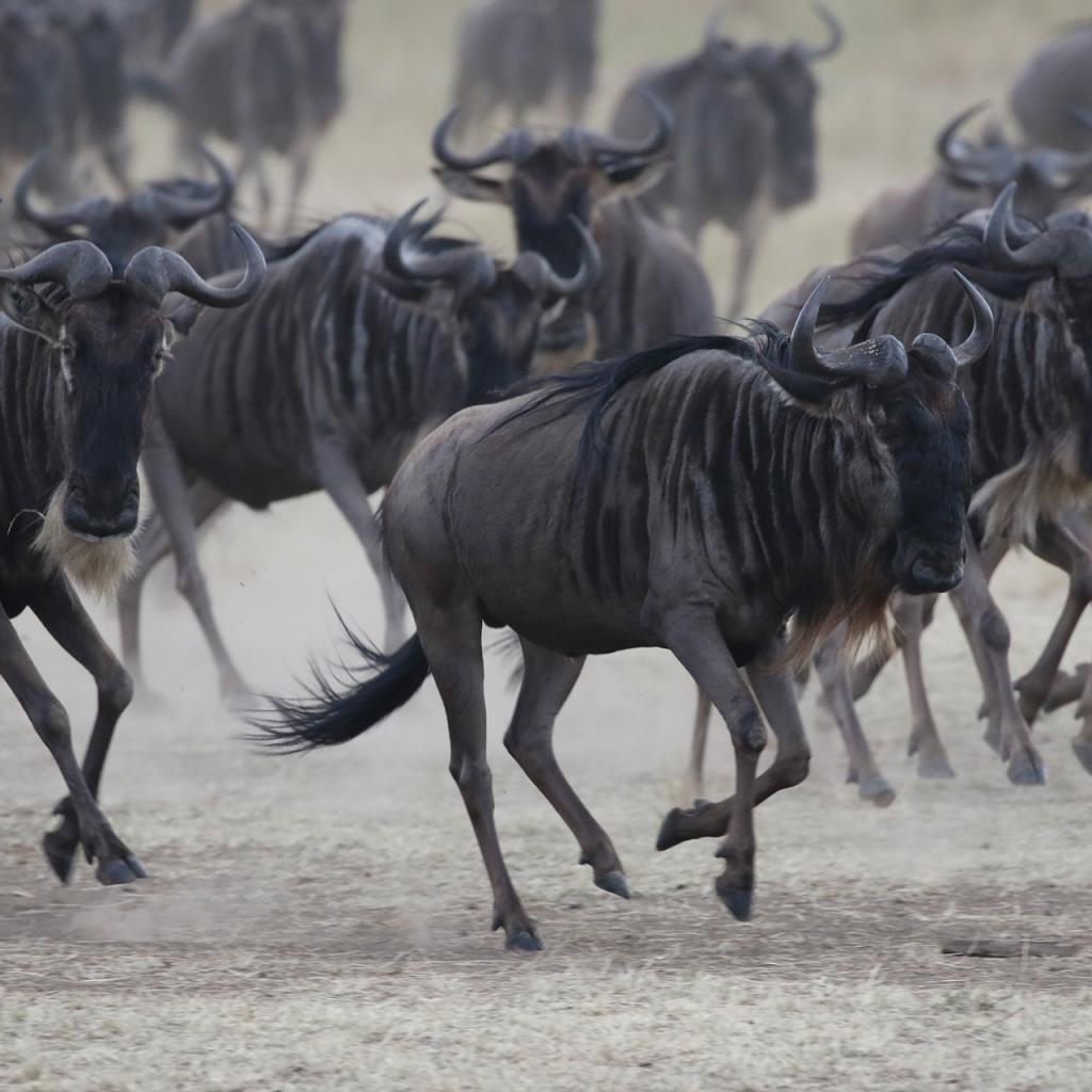 masai mara exploringafrica savannah romina facchi safariadv gnu great migration