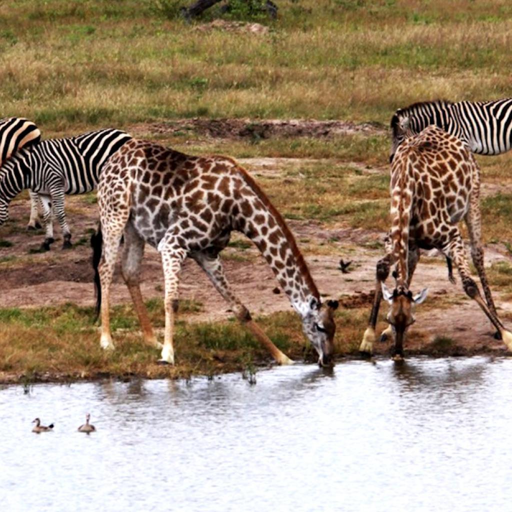 zimbabwe giraffe exploringafrica safariadv alessio delle cave