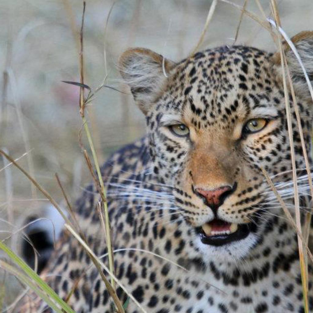 leopardo exploringafrica safariadv rominafacchi leopard