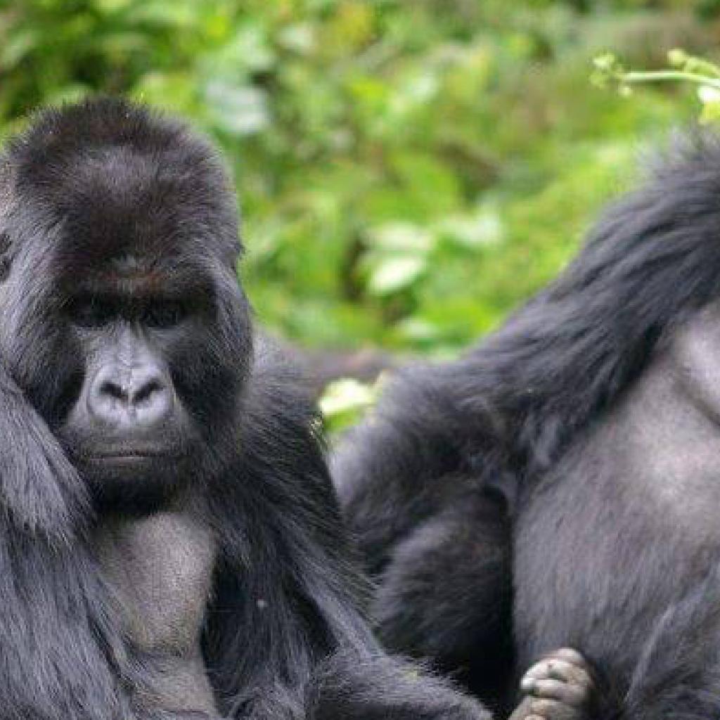 rwanda exploringafrica safariadv travel trekking gorilla