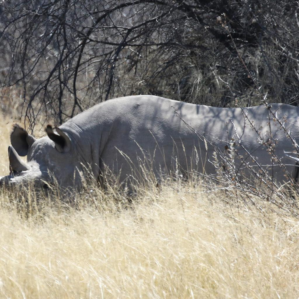 botswana safari rhino africa safariadv exploringafrica romina facchi